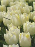 8荷兰语tulipfield 免版税库存照片