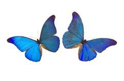 8蓝色蝴蝶 免版税库存照片