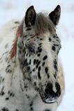 8被察觉的马驹 免版税图库摄影