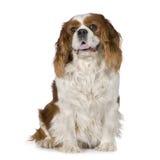 8骑士查尔斯国王西班牙猎狗年 免版税库存照片
