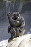 8黑猩猩 库存图片