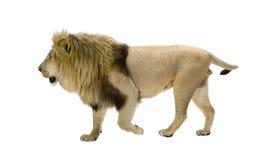 8 år för leo lionpanthera Arkivfoton