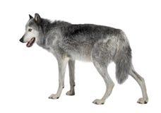 8 år för mackenzie dalwolf Royaltyfria Bilder