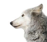 8 år för mackenzie dalwolf Arkivbilder