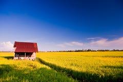 8 σειρές ρυζιού πεδίων Στοκ Εικόνες