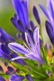 8 σειρές agapanthus Στοκ Εικόνα