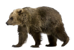 8 лет медведя коричневых старых гуляя Стоковое Изображение