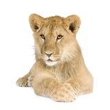 8 месяцев льва новичка Стоковые Изображения RF