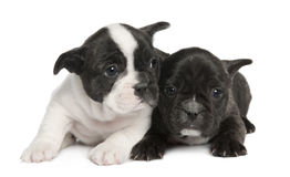 8 неделей щенка бульдога французских Стоковые Изображения