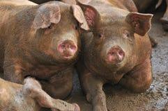 8 серий свиньи Стоковое Фото