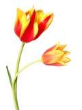8 тюльпанов Стоковое Изображение