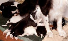 8 щенят Коллиы границы Стоковые Фото