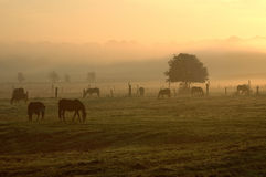 8:00 am. Horses on a meadow on a foggy morning Stock Images