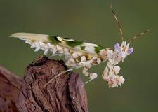 8多刺的螳螂 库存照片