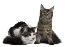 8 9 kotów coon Maine miesiąc starzy dwa Zdjęcia Royalty Free