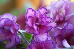 8 african violet arkivfoton