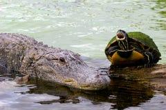 8 aligatora Obraz Royalty Free