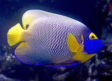8 angelfish blueface Zdjęcie Stock