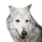 8 ans de loup de vallée d'occi de mackenzie de lupus de canis Photo libre de droits