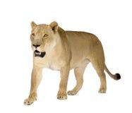 8 ans de panthera de lionne de Lion Photo libre de droits