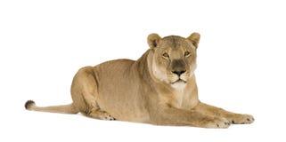 8 ans de panthera de lionne de Lion Photos stock