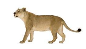 8 ans de panthera de lionne de Lion Photo stock