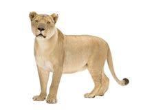 8 ans de panthera de lionne de Lion Photographie stock libre de droits