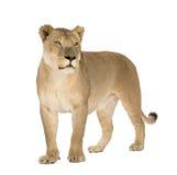 8 ans de panthera de lionne de Lion Photos libres de droits
