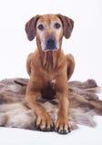 8 år för ridgeback för hundkvinnlig gammala rhodesian Royaltyfria Foton