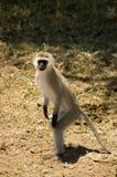 8 błękit małpi samango Obraz Stock