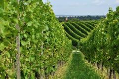 8 baden холмистый виноградник Стоковое Изображение