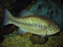 8 bass largemouth lb Obraz Royalty Free