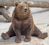 8 brown bear Zdjęcie Royalty Free
