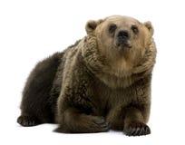8 bruna liggande gammala år för björn Royaltyfri Fotografi