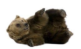8 bruna liggande gammala år för björn Fotografering för Bildbyråer