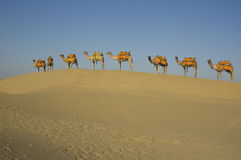 8 camelos em uma fileira Imagem de Stock Royalty Free