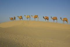 8 chameaux dans une ligne Image libre de droits