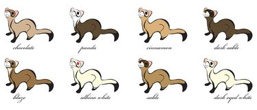 8 Different Ferret Coats Stock Image