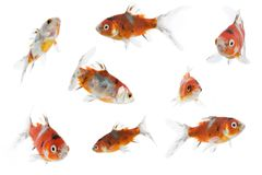8 different goldfish. 8 diffirent goldfish isolated on a white background Royalty Free Stock Photos
