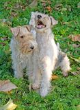 8 fox terrier Στοκ Εικόνα