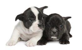 8 franska valpveckor för bulldogg arkivbilder