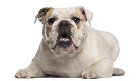8 gammala engelska liggande månader för bulldogg Arkivbilder