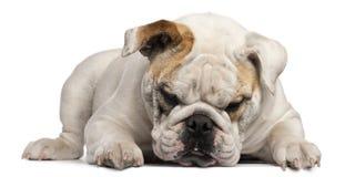 8 gammala engelska liggande månader för bulldogg Royaltyfria Bilder