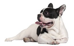 8 gammala liggande månader för bulldoggfransman Arkivfoton