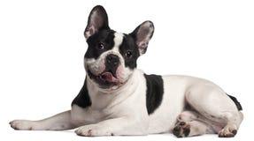 8 gammala liggande månader för bulldoggfransman Arkivbild