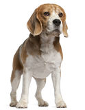8 gammala plattform år för beagle Arkivbilder
