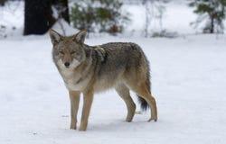 8 kojot Obrazy Royalty Free