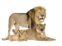 8 Leo lwicy panthera rok Zdjęcia Royalty Free