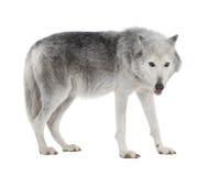 8 loups mètre-bougie d'enzie de blanc d'american national standard Image libre de droits