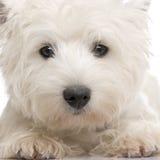8 mois des montagnes de chien terrier de blanc à l'ouest Image libre de droits